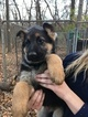 German Shepherd Dog Puppy For Sale in GRANT TOWNSHIP, MN, USA