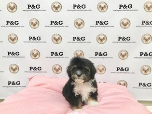 ShihPoo Mix Puppy For Sale in TEMPLE CITY, CA, USA
