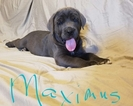 Cane Corso Puppy For Sale in IMPERIAL, MO
