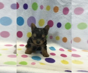 Yorkshire Terrier Puppy for sale in BELDEN, MS, USA