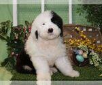 Puppy 2 Old English Sheepdog