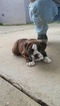 AKC registered English bulldog puppy