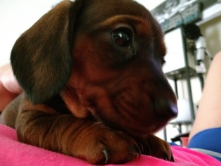 Dachshund Puppy For Sale in SAN ANTONIO, TX, USA