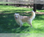 Small Photo #1 Golden Retriever Puppy For Sale in NASHVILLE, IN, USA
