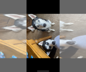 Siberian Husky Puppy for sale in CARL JUNCTION, MO, USA