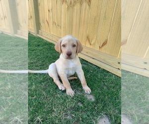 Labrador Retriever Puppy for sale in DUNN, NC, USA