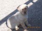 Labrador Retriever Puppy For Sale in MONTGOMERY, IN