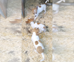 Jack Chi Dog for Adoption in SPOTSYLVANIA, Virginia USA