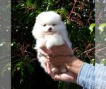 Small #20 Pomeranian
