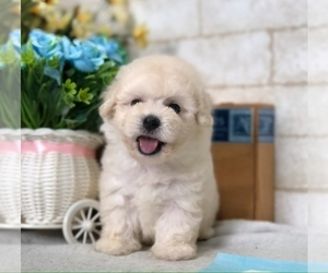 Poodle (Miniature) Puppy for sale in WASHINGTON, DC, USA