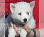 Small #4 Alaskan Klee Kai