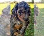 Puppy 8 Aussiedoodle-Poodle (Standard) Mix