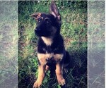 German Shepherd Dog Puppy For Sale in BLM, IL, USA