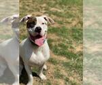 Small #533 American Pit Bull Terrier-Huskies  Mix