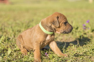 Rhodesian Ridgeback Puppy For Sale in LAGRANGE, GA, USA