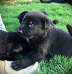 German Shepherd Dog Puppy For Sale in EL PASO, TX
