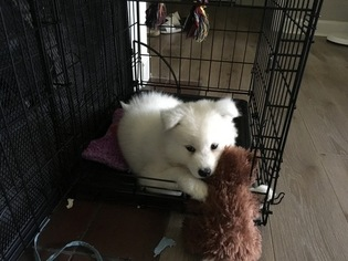 Samoyed Puppy For Sale in PHILADELPHIA, PA, USA