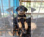 Small #9 Rottweiler