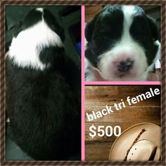 Australian Shepherd Puppy For Sale in KEENESBURG, CO