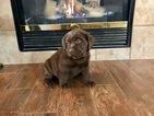 Small #53 Labrador Retriever