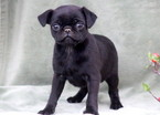 Pug Puppy For Sale in MOUNT JOY, PA, USA