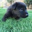 German Shepherd Dog Puppy For Sale in EL PASO, TX