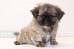 Shinese Puppy For Sale in NAPLES, FL