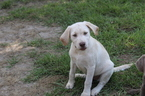 Labrador Retriever Puppy For Sale in SOPERTON, Georgia,