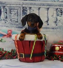 Dachshund Puppy For Sale in CHICAGO, IL