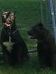 Cane Corso Puppy For Sale in COLLINSVILLE, IL,