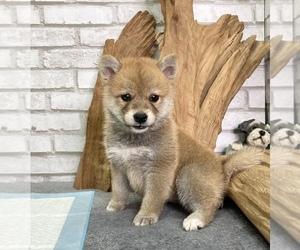 Shiba Inu Puppy for sale in WASHINGTON, DC, USA