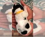Small #6 Springerdoodle