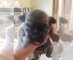 Puppy 2 Shorkie Tzu