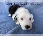 Small #6 Old English Sheepdog