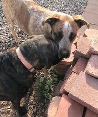 English Mastiff mix dog to adopt in New Mexico
