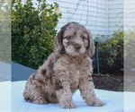 Small English Springer Spaniel-Poodle (Miniature) Mix