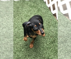 Miniature Pinscher Puppy for sale in LAKESIDE, CA, USA