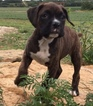 Boxer Puppy For Sale in SENECA, KS, USA