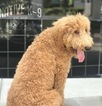 Goldendoodle Puppy For Sale in ATLANTA, GA, USA