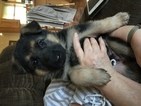 German Shepherd Dog Puppy For Sale in CHEHALIS, WA