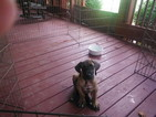 Great Dane Puppy For Sale in BLUE CREEK, OH, USA