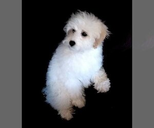 Schnoodle (Miniature) Dogs for adoption in KALISPELL, MT, USA