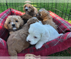 Cavapoo Puppy for sale in BETTENDORF, IA, USA