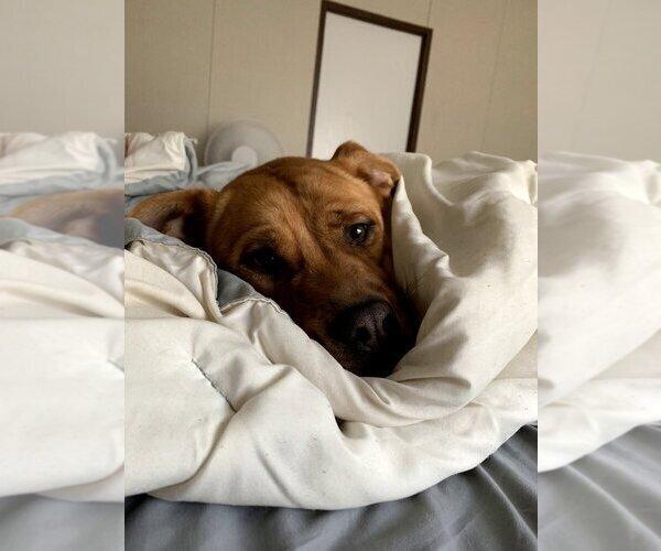Medium Photo #4 Boxador Puppy For Sale in CLEVELAND, TN, USA