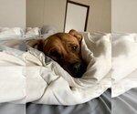 Small Photo #4 Boxador Puppy For Sale in CLEVELAND, TN, USA