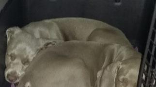 Weimaraner Puppy For Sale in STEGER, IL, USA
