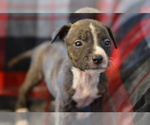 Puppy 5 American Pit Bull Terrier-Belgian Malinois Mix