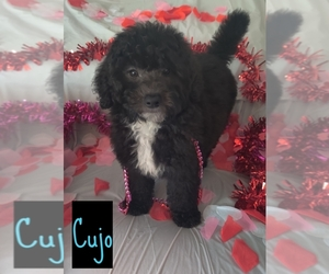 Goldendoodle Puppy for Sale in SAINT CLOUD, Florida USA