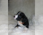 Puppy 3 Australian Shepherd-Cavalier King Charles Spaniel Mix