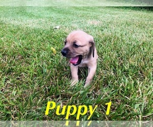 Beagle Mix Puppy for Sale in LIBERTY, Texas USA